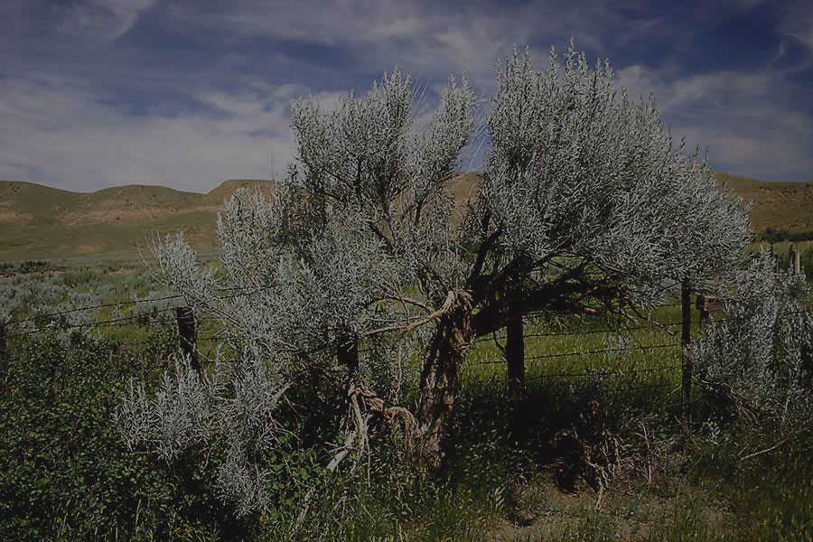 ESRS photo of Artemesia Cana in Milk River